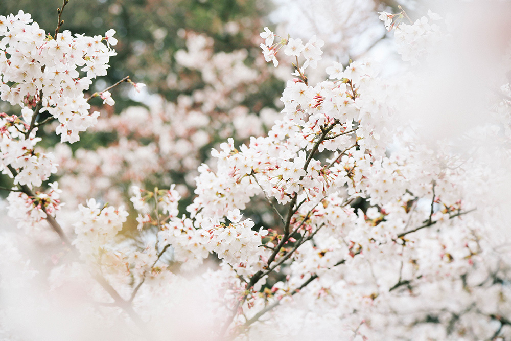 ashleigh-leech-someform-sakura-shinjuku-gyoen-tokyo-japan