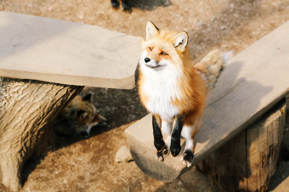 ashleigh-leech-someform-shiroishi-zao-fox-kisune-village-japan-02