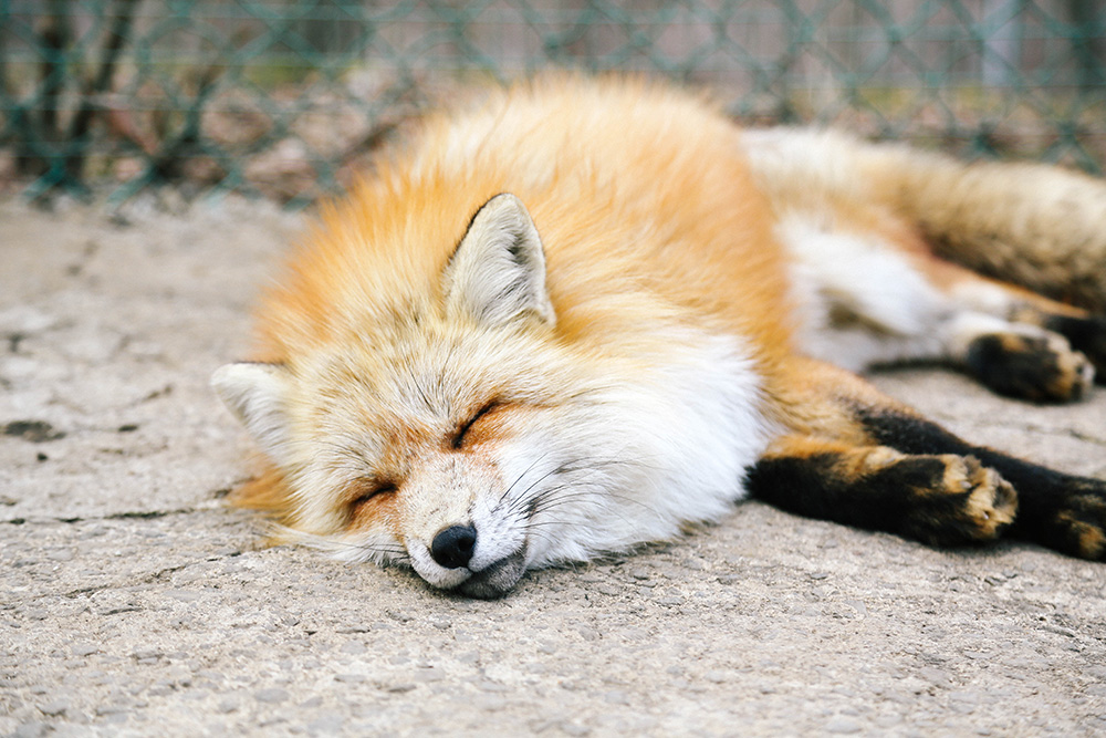 ashleigh-leech-someform-shiroishi-zao-fox-kisune-village-japan-03